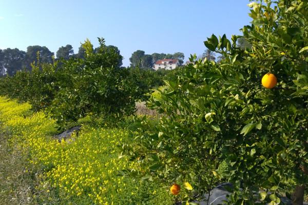 navel-orangen-finca-lily
