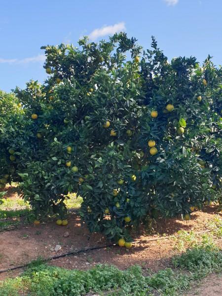 orangenbaum-fast-reif